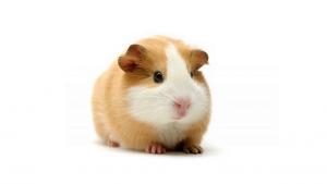 pet-friendly guinea pig