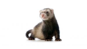 pet-friendly ferret