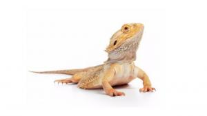 pet-friendly lizard