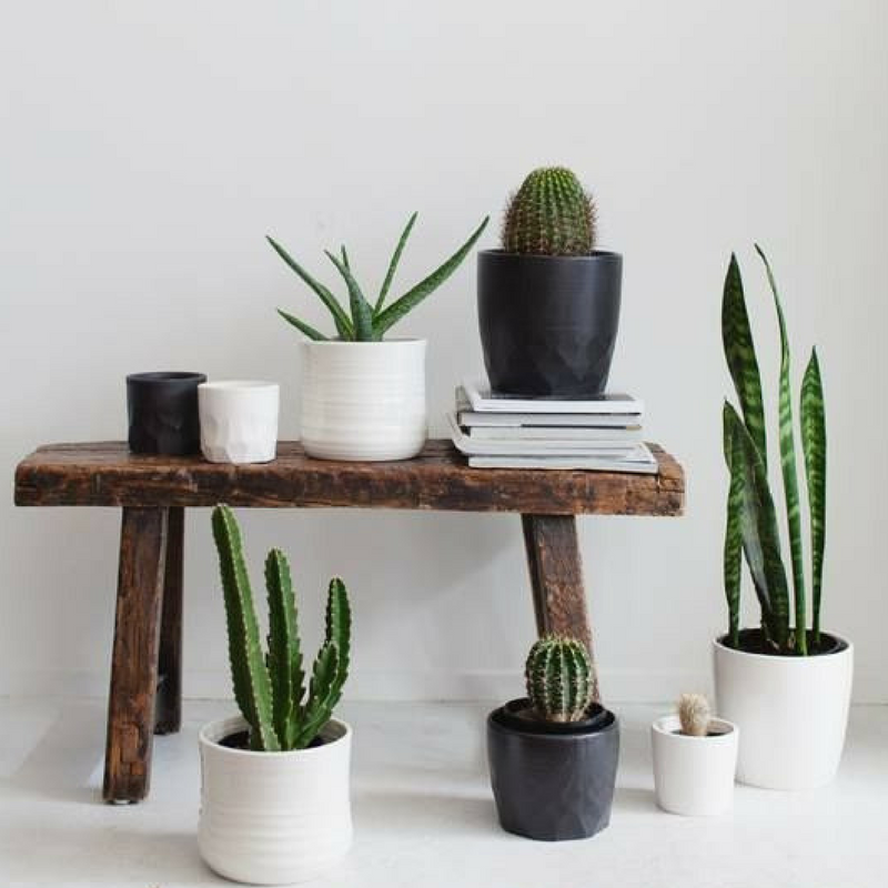 botanical succulents in small white plant pots