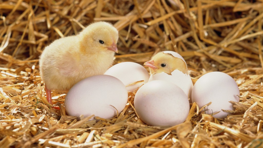 Young chicks hatching from eggs in hay