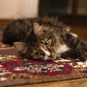 pet-friendly cat lay on a scratched rug