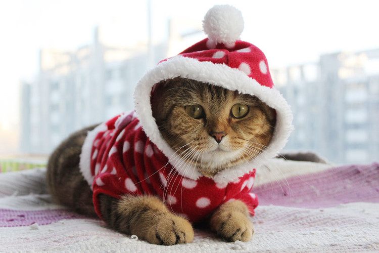 cat in a christmas costume