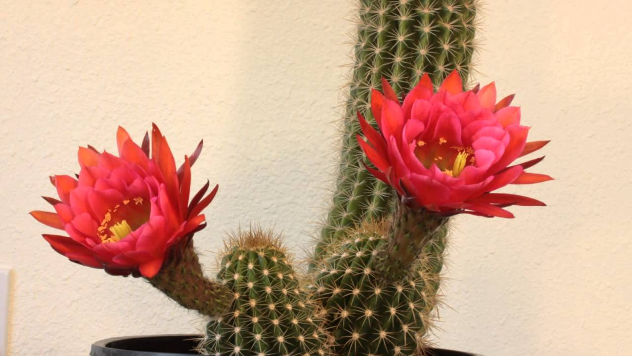St. George's Day Cacti with red flowers outside