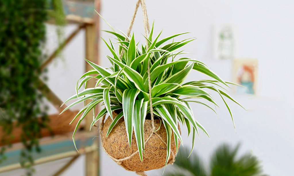 Eco-Friendly Home - hanging basket with spider plant in