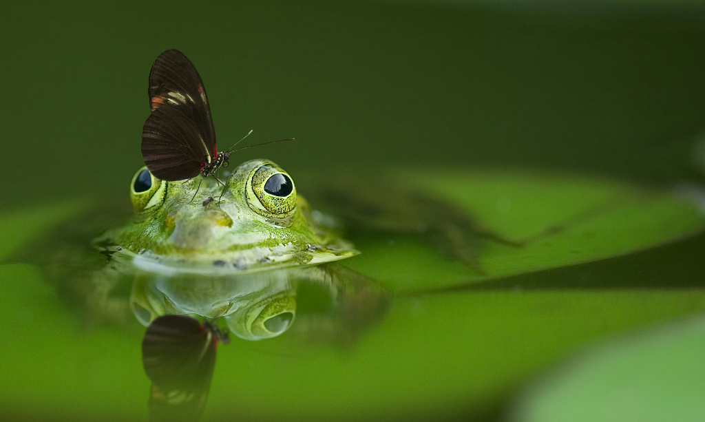 Frog in pond with butterfly on head