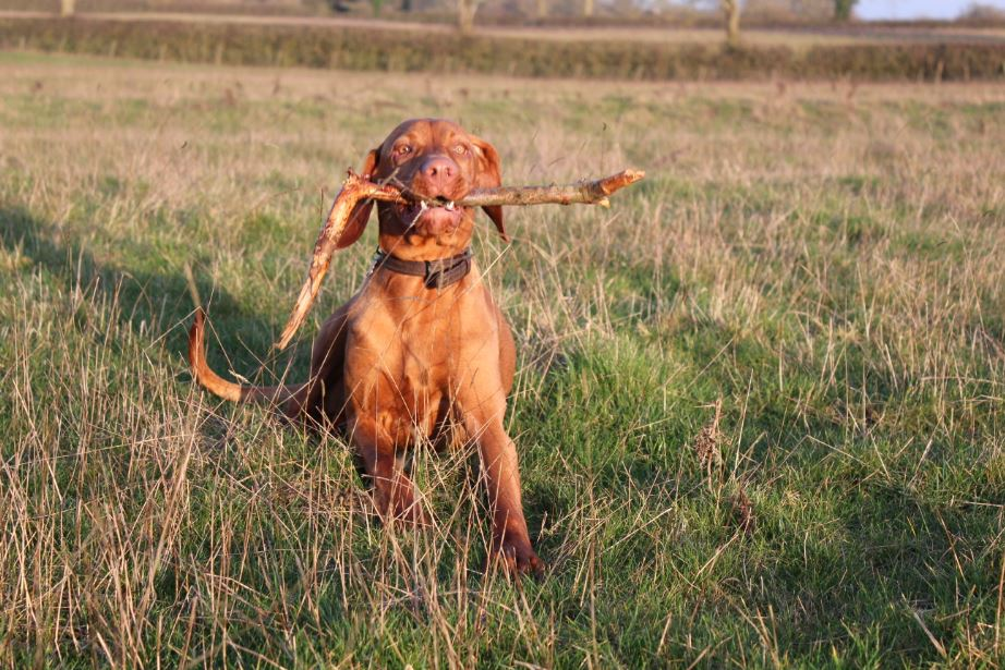Dog with a stick in his mouth
